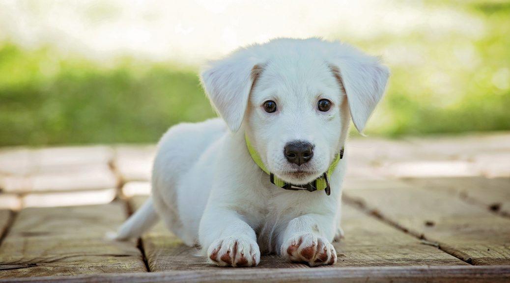 Kosten puppycursus